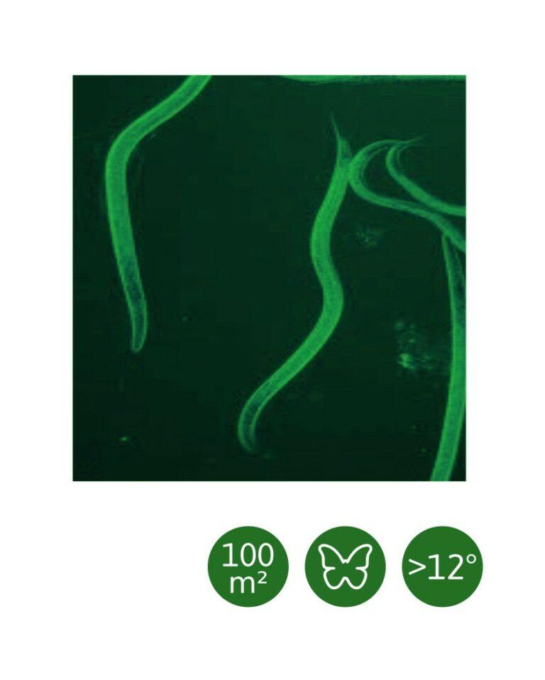 Heterorhabditis bacteriophora - 100 m²