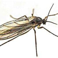 SF-Nematoden nemaplus® gegen Trauermückenlarven für 100 m²